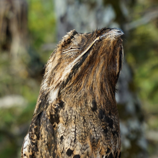 """Tell me the legend of the singing bird """"Potoo""""!"""