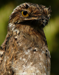 Awake Potoo with its big, yellow eyes.